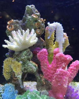 Tuesday. White seahorse & colourful coral