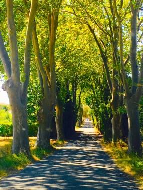 avenue-of-plane-trees