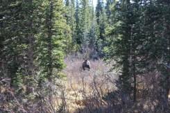 Moose sighting by Brainard Lake, Boulder