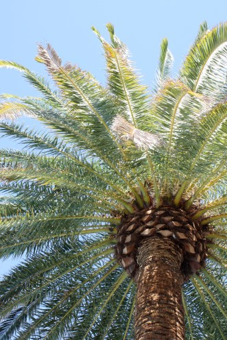 Palm tree at The Mirage