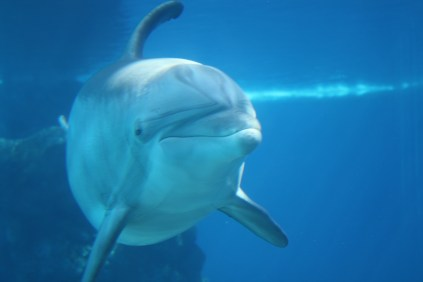 Underwater view of a dolphin at The Mirage