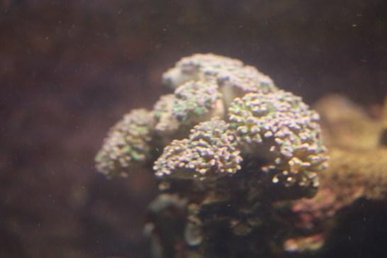 Euphyllia Hammerhead 2