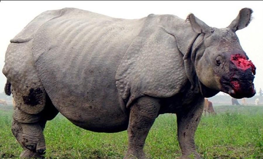 Rinocerontes heridos y sin cuerno