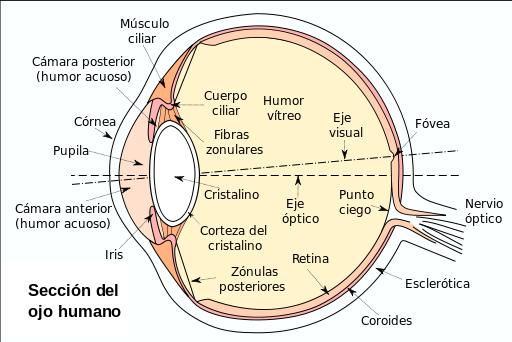 La anatomía del ojo