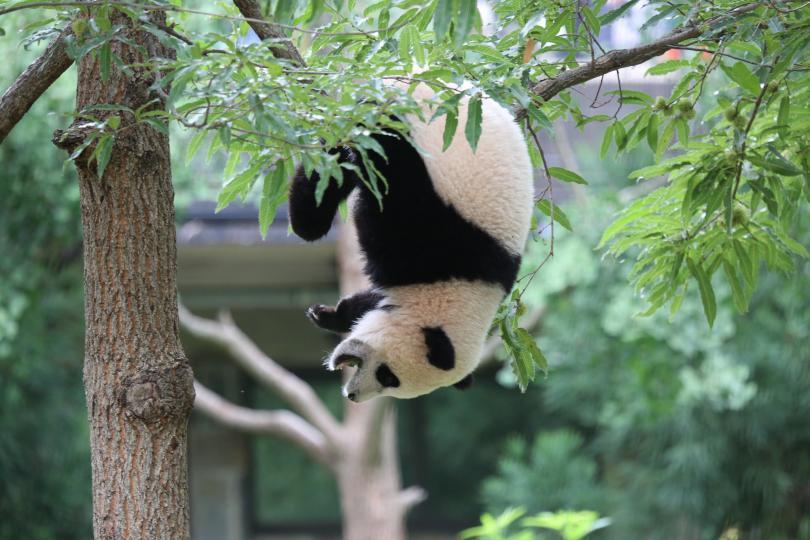 La Panda Bao Bao