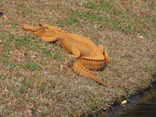 Caiman anaranjado aparece en un pueblo de Carolina del Sur