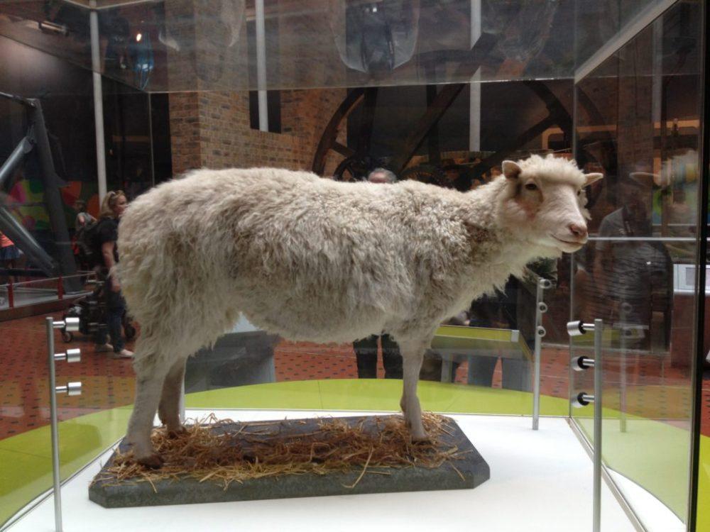 El cuerpo taxidermizado de Dolly, la oveja clon en el Museo de Nacional de Escocia