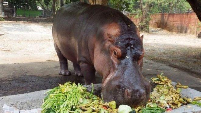 Gustavito el hipopótamo