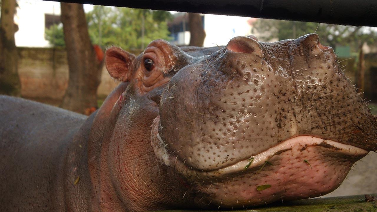 Gustavito el hipopótamo que vivía en el Parque Zoológico Nacional de San Salvador