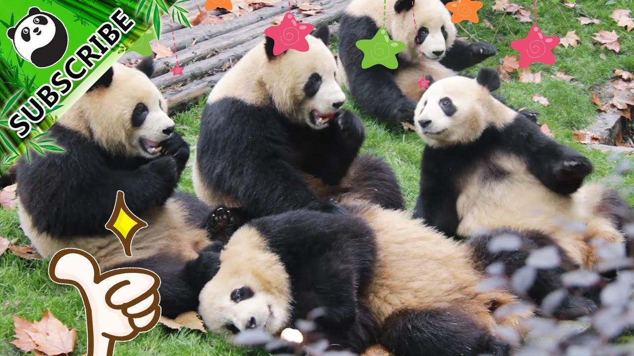 Transmisiones en vivo de pandas en iPanda