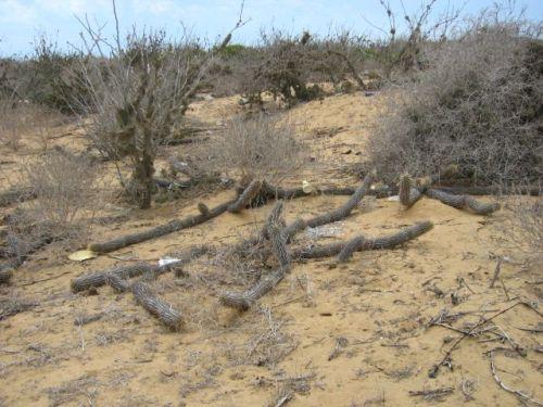 Cactus reptante en peligro de extinción
