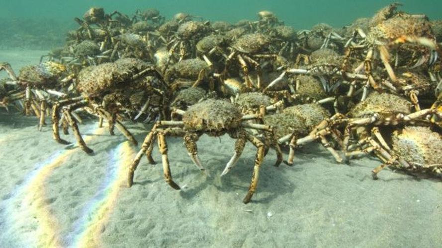 Migración cangrejos araña