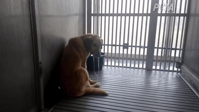 Experiementos en perros con distrofia muscular