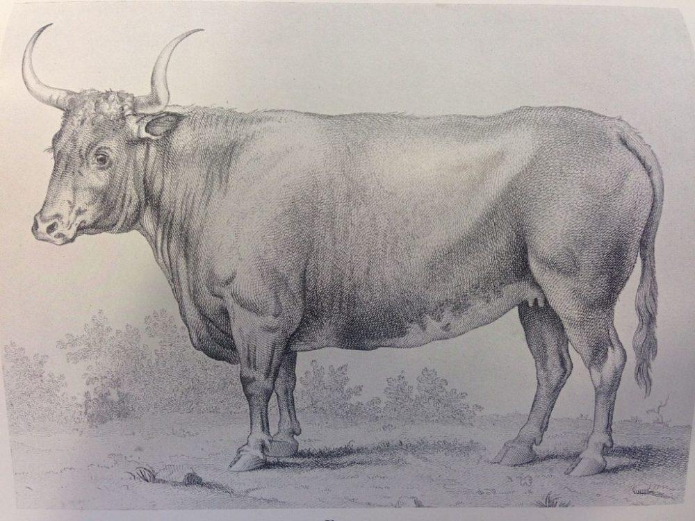Vaca Freemartin microquimerismo