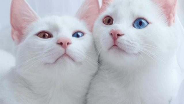 Conoce a Iriss y Abyss, los gatos más hermosos del mundo