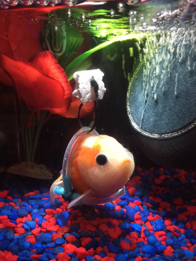 """Así se ve un pez dorado con una """"silla de ruedas acuática"""""""