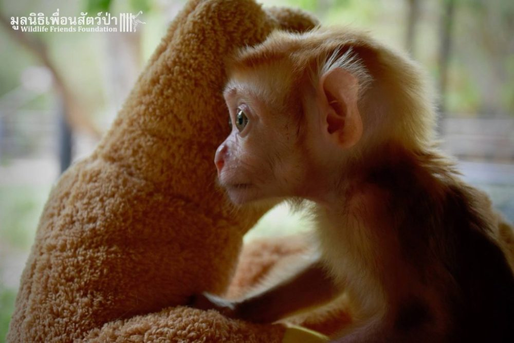 Mongkood, el macaco bebése aferra a dos peluches tras perder a su familia