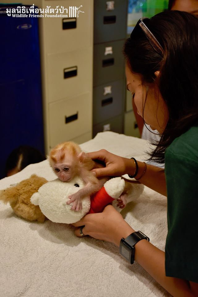 Una veterinaria y Mongkood, el macaco bebé se aferra a dos peluches