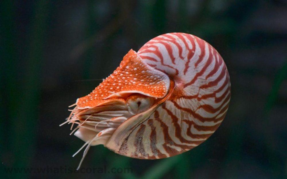 El Nautilus pompilius es un molusco de la familia de los cefalópodos
