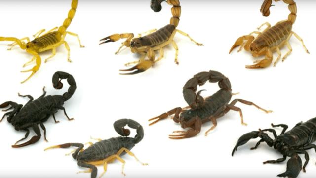 Así se ve la picadura de un escorpión en cámara lenta