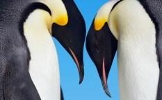 Dos pingüinos emperadores
