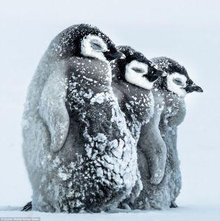 Tres pingüinos bebé cubiertos de nieve
