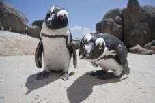 Pingüinos mirando hacia la cámara