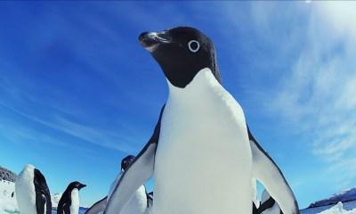 Acercamiento de un pingüino