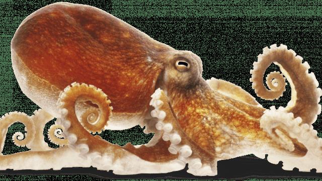 Un pulpo es miembro de los cefalópodos