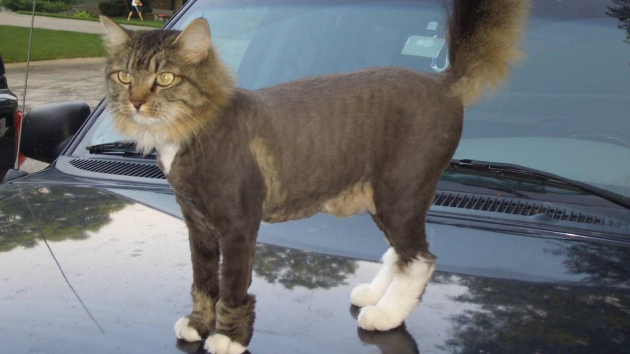 Alguien esta rasurando gatos con dueño en Virginia, Estados Unidos