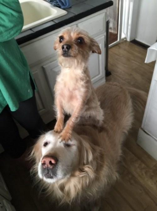 Una perrita usa de carruaje a su amigo perro y es lo más tierno que verás hoy
