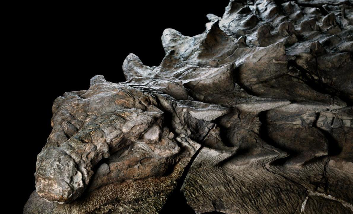 Fósil de la armadura y piel de un nodosaurus