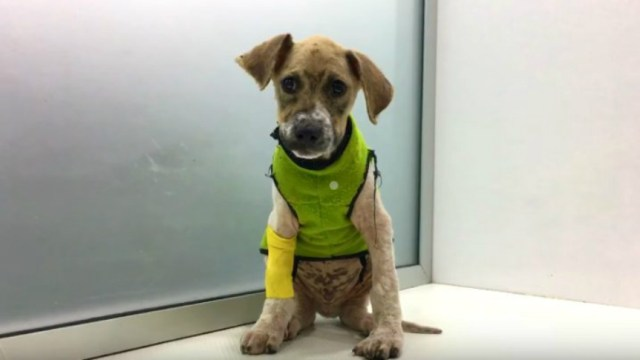 Así luce hoy Pascal, el perrito que sobrevivió a un ataque con pegamento
