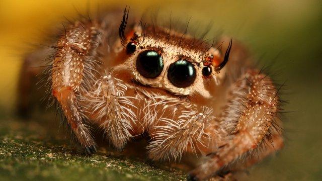 La araña saltarina tiene una visión comparable a la de los mamíferos