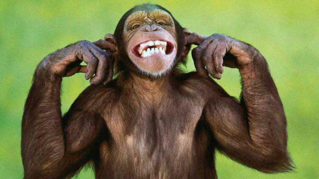 Los músculos de los chimpancés tienen más fuerza que los humanos