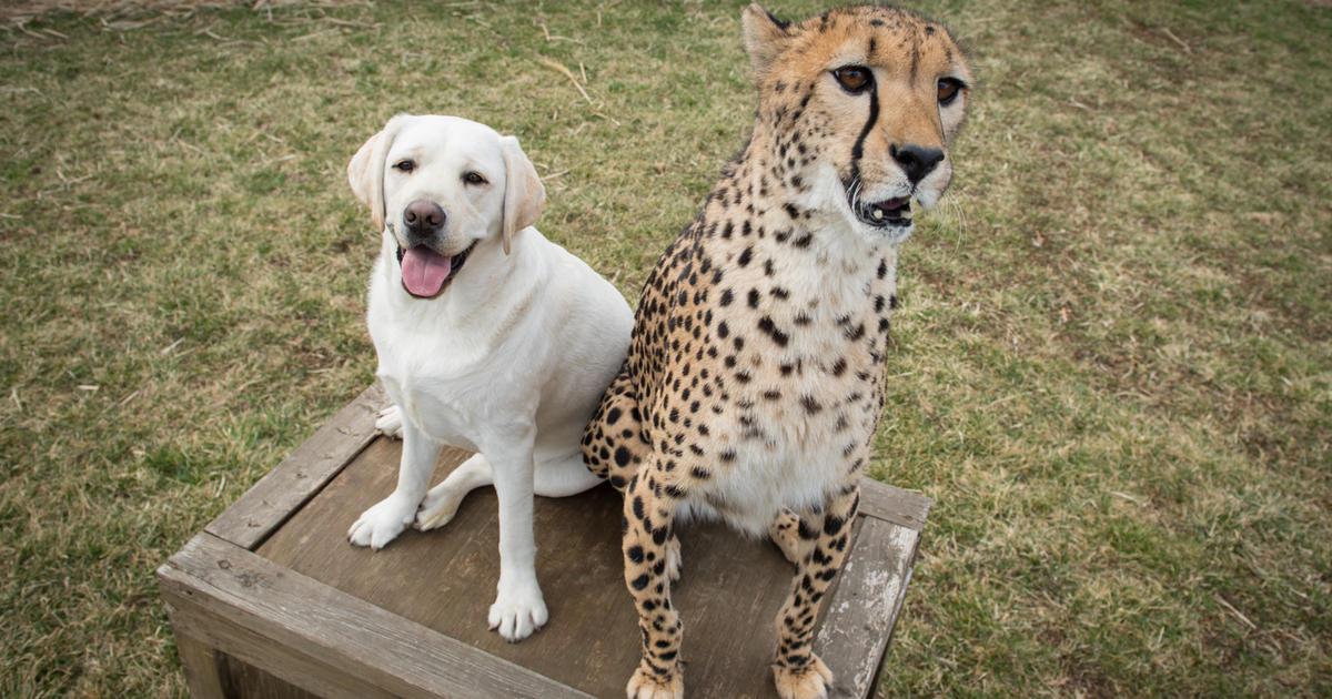 Zoológicos juntan chitas con cachorros para calmar su ansiedad