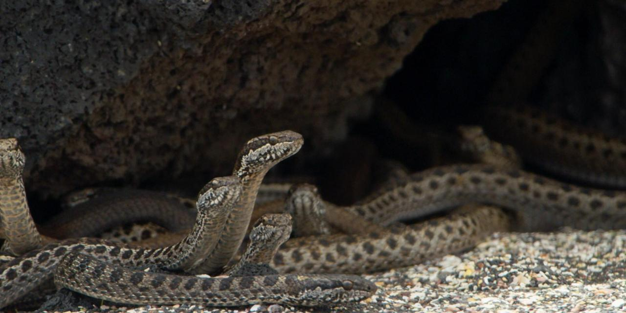 La BBC documentó serpientes acosando a una iguana