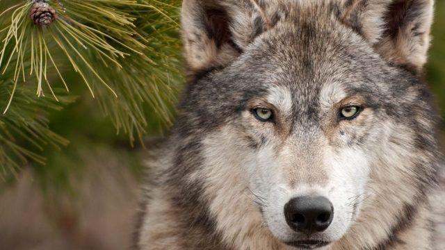 El lobo mexicano está en peligro de extinción