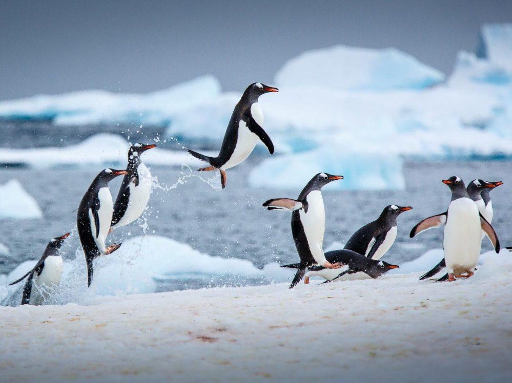 Pingüinos en la Antártida, donde descubrieron 91 volcanes submarinos