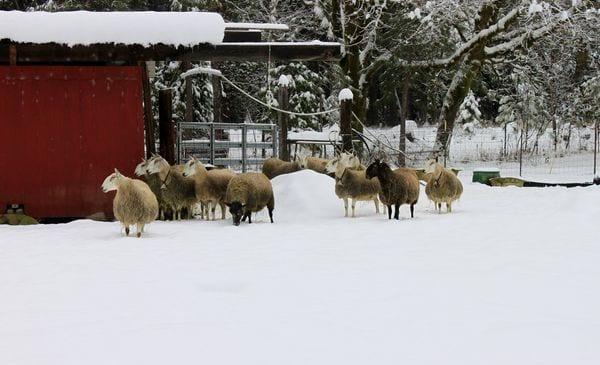 Granja de ovejas en invierno de Karen Szewc y John Updegraff