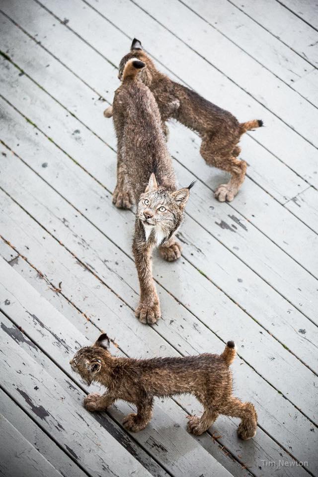 Una familia de linces decide darle una sorpresa a un fotógrafo en Alaska