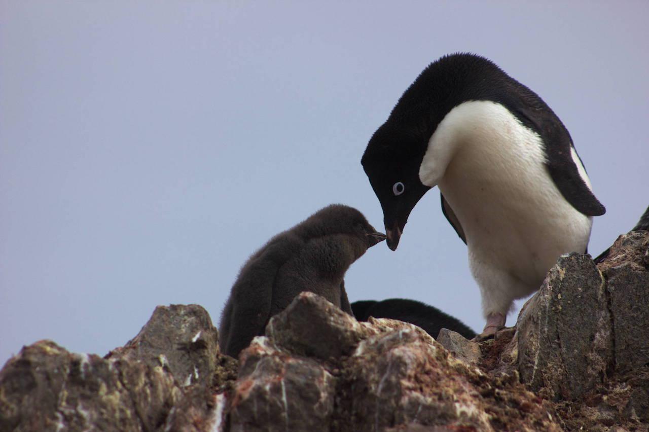 pingüinos crías, pingüinos adelaida, murieron hambre, Antártida