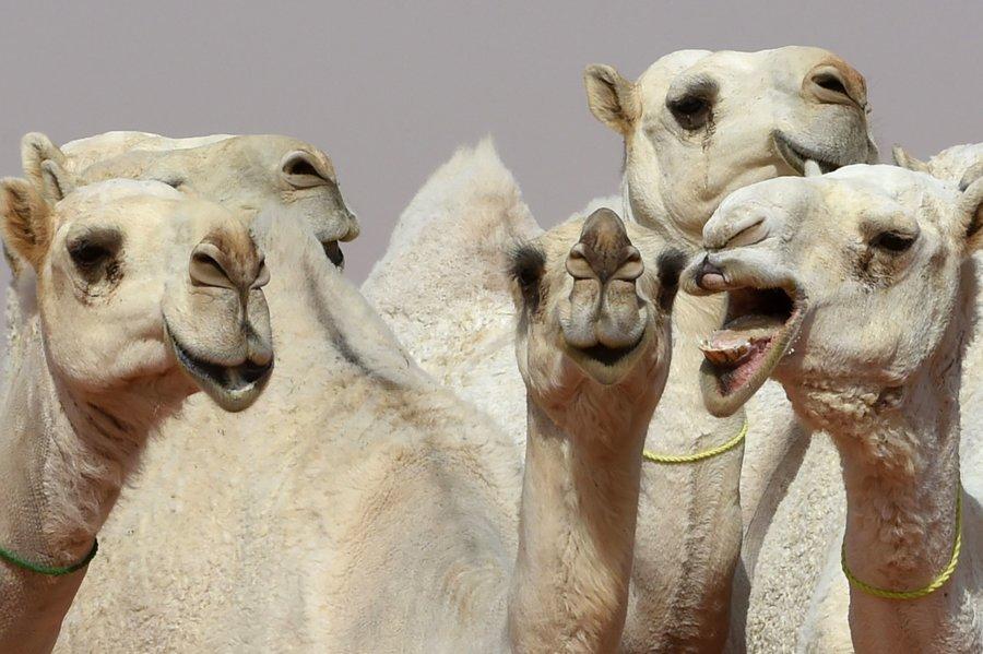 camellos-concurso-belleza