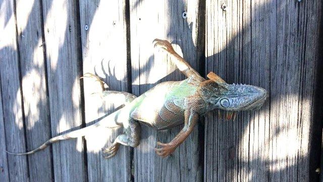 Iguana congelada que cayó de un árbol en Florida