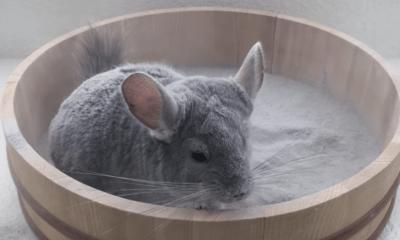 Chinchilla dándose un baño de arena