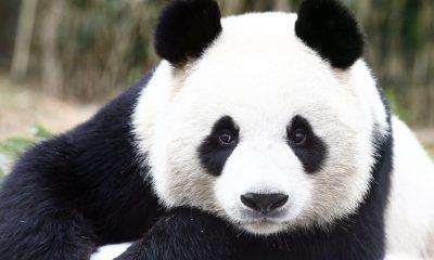 ¿Por qué los pandas son de color blanco y negro?