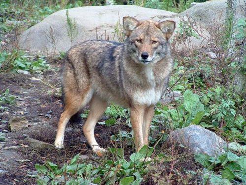 Coywolf, la cruza de perro, lobo y coyote