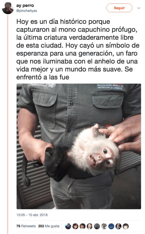 El-mono-capuchino-prófugo-es-capturado-10
