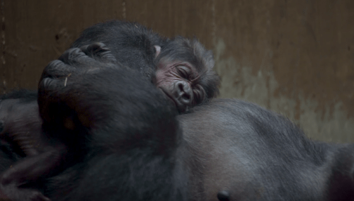 Mamá gorila besa a bebé gorila