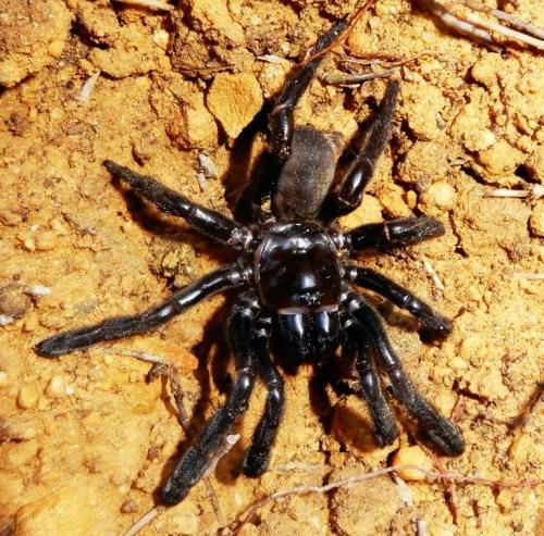 La araña más vieja del mundo muere a los 43 años